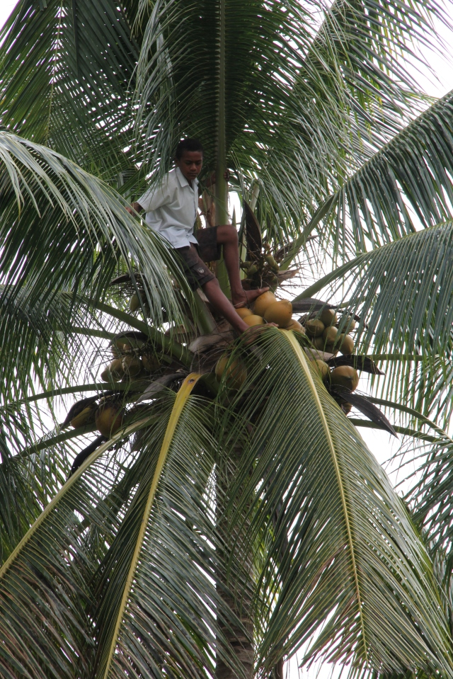 A student showing his talent - climbing a coconut tree as though it was child's play