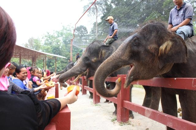 Elephant feeding (with pawpaws)